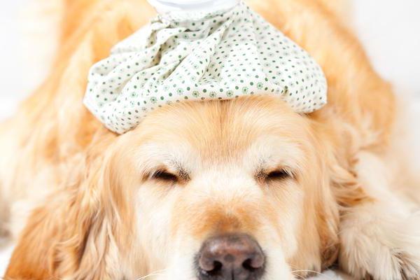 аденовирус у собак