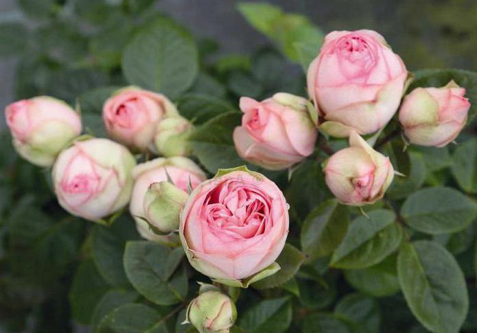 Размножение розы черенками осенью