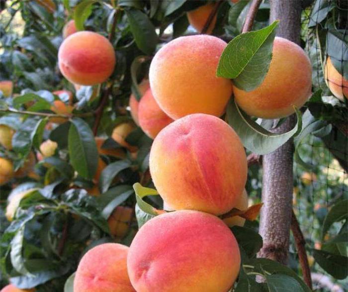 что можно привить на дикий абрикос