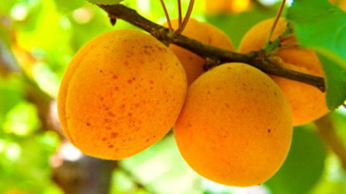 можно ли привить абрикос на грушу