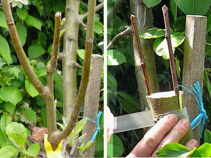 на какое дерево можно привить абрикос