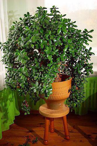 денежное дерево какой кислотности земля нужна