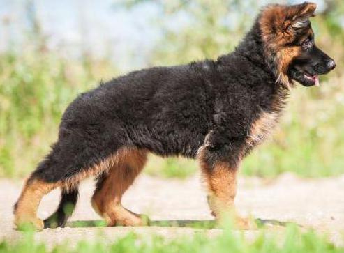 где сделать родословную собаке