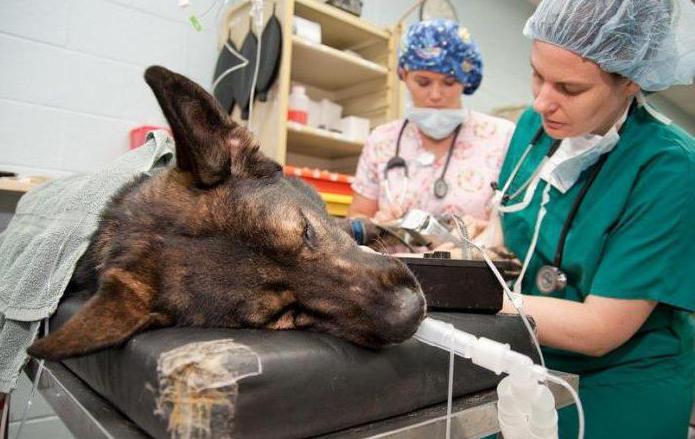 удаление опухоли молочной железы у собаки