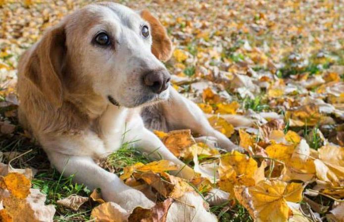 опухоль молочной железы у собаки вскрылась