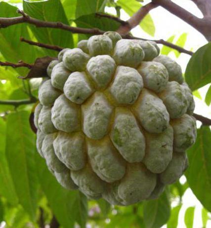нойна фрукт