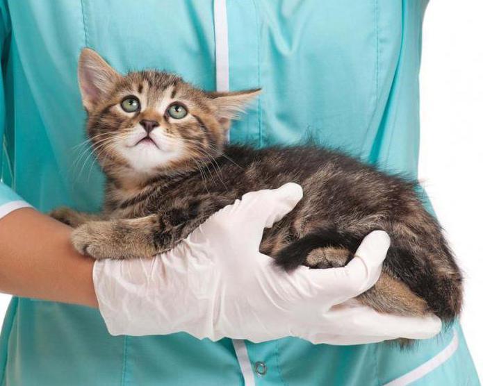 непроходимость кишечника у кошки симптомы