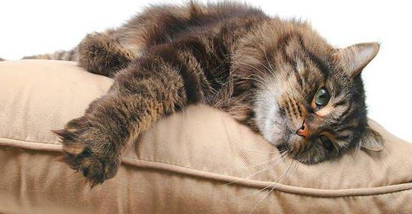 непроходимость кишечника у кошки что делать