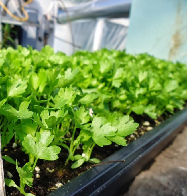 Выращивание корневого сельдерея в подмосковье в открытом грунте 58