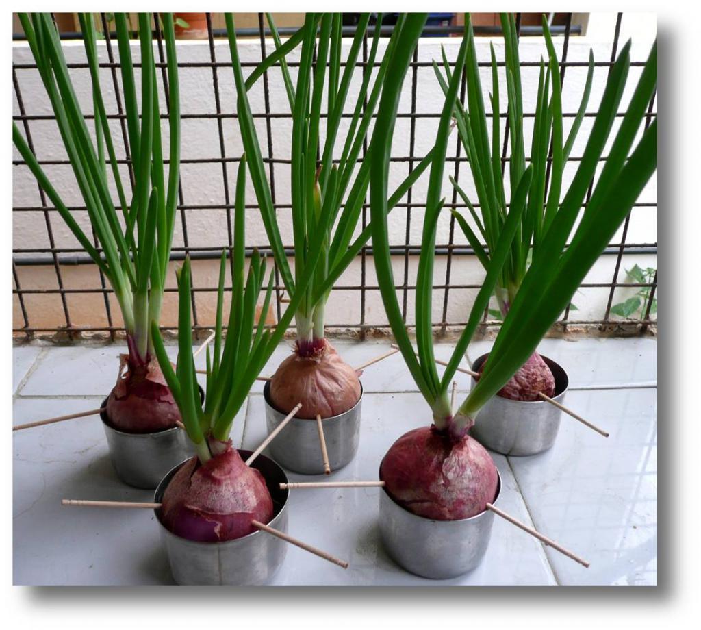 Выращивания зеленого лука в квартире 93