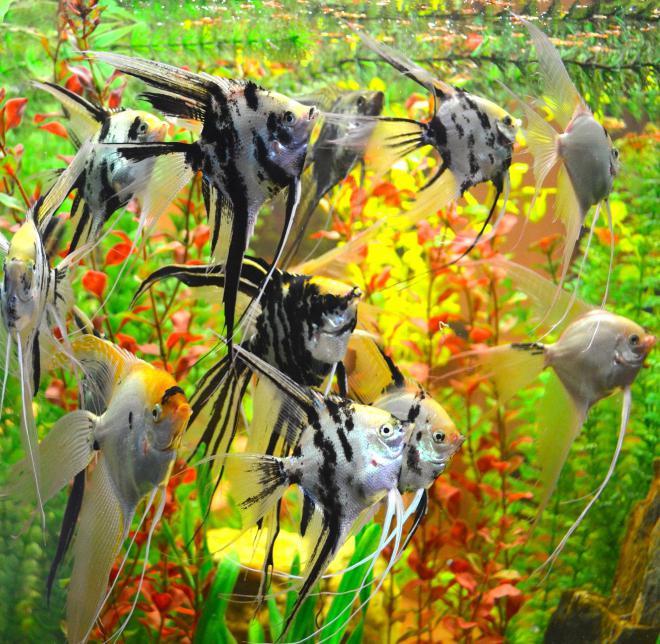 С какими рыбками уживаются скалярии