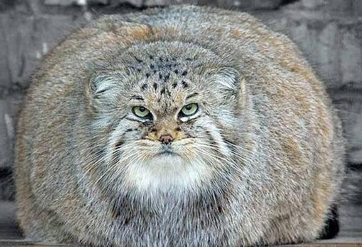 Самые большие коты в мире порода