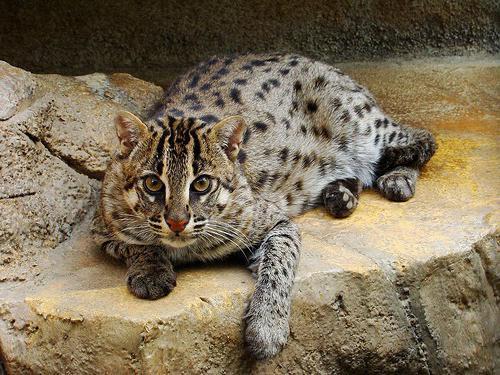 Виверровые коты рыболовы все о породе