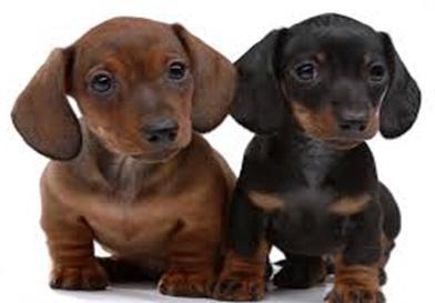 Клички для собак таксы