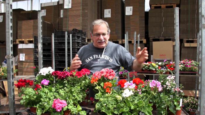 герань уход в домашних условиях размножение цветение