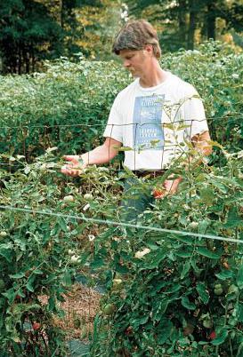 подкормка помидоров дрожжами сухими