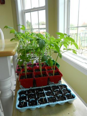 подкормка помидор дрожжами в теплице
