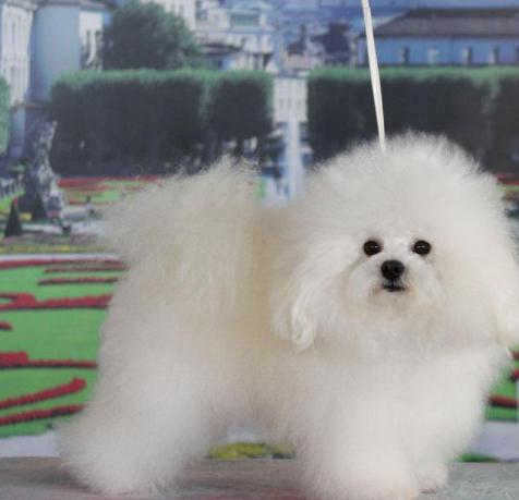 Итальянская собака болоньез - описание породы и отзывы собаководов