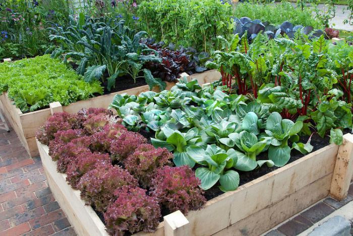 совместимость овощей при посадке на даче
