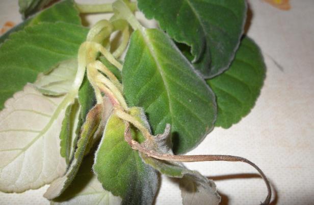 цветы глоксиния как ухаживать