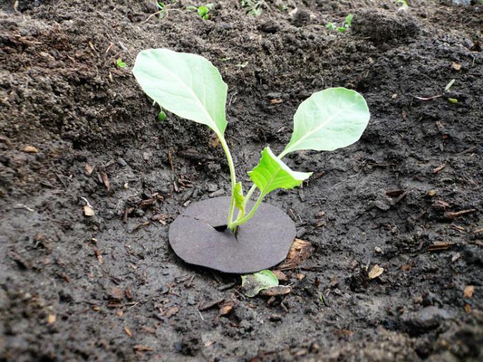 Как сажать цветную капусту в открытый грунт 61