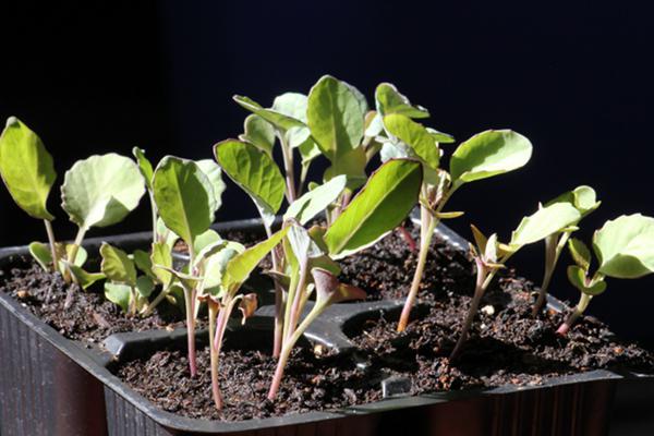 время посадки цветной капусты на рассаду