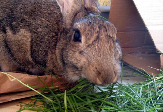 Суданка для кроликов польза вред