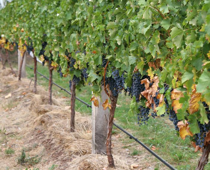 винограда от вредителей и