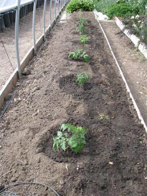 на каком расстоянии сажать рассаду помидор