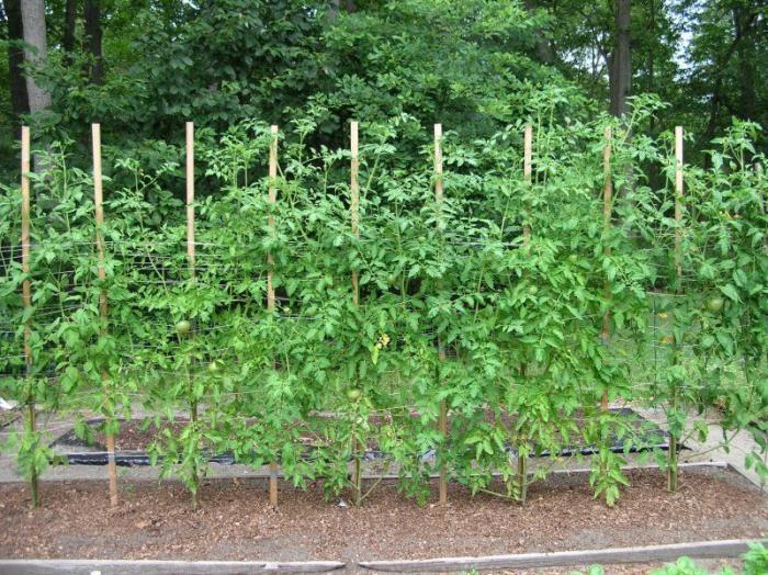 на каком расстоянии сажать помидоры в грунт