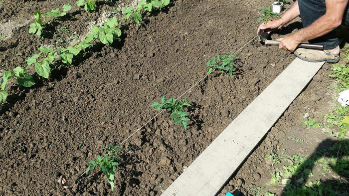 на каком расстоянии сажать помидоры