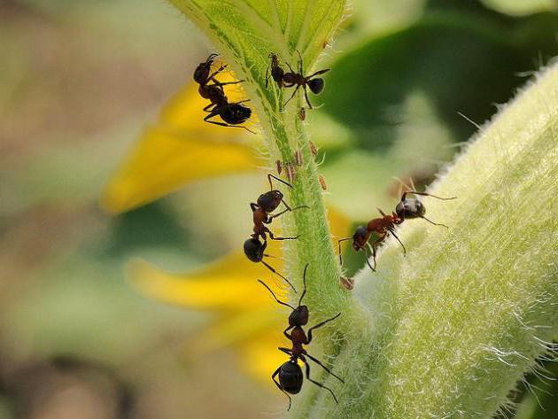 Средство муравьед: инструкция по применению от садовых муравьев и.