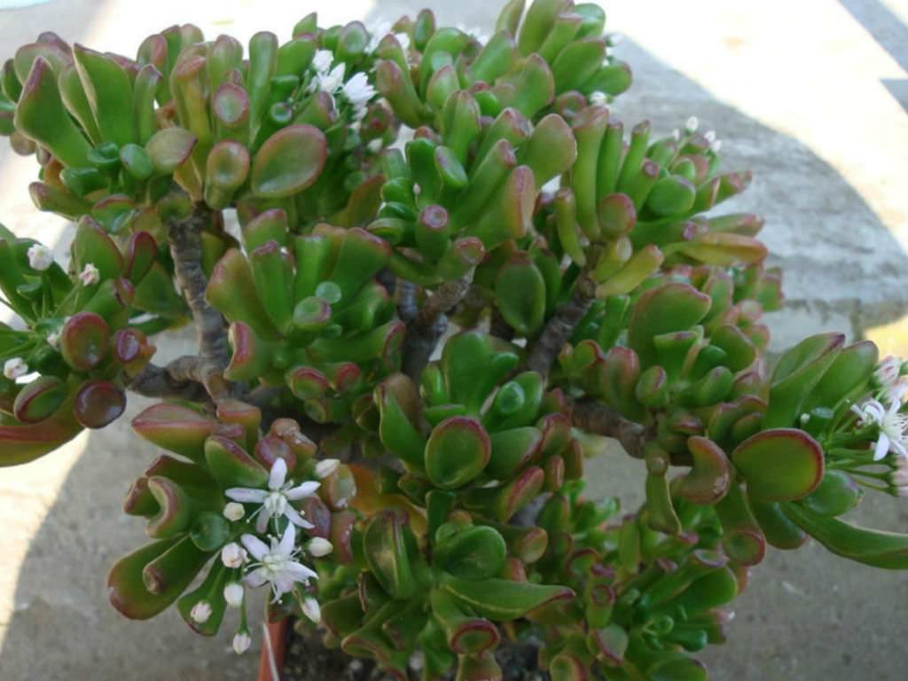 натуральному, толстянка денежное дерево виды фото плитка