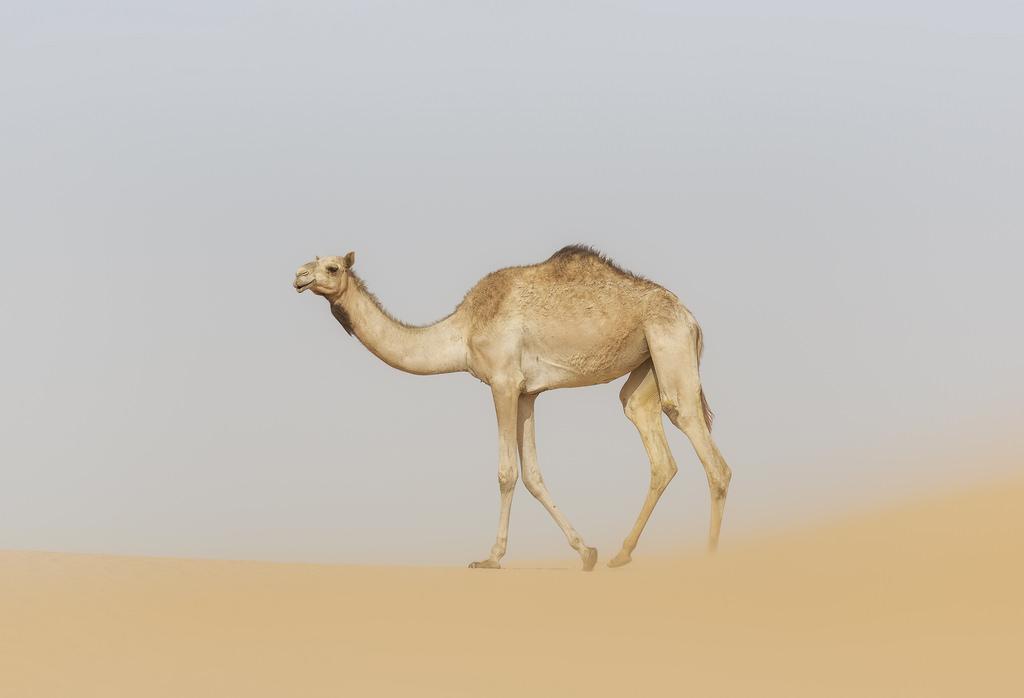 Дромадер - это одногорбый верблюд: описание животного, среда обитания