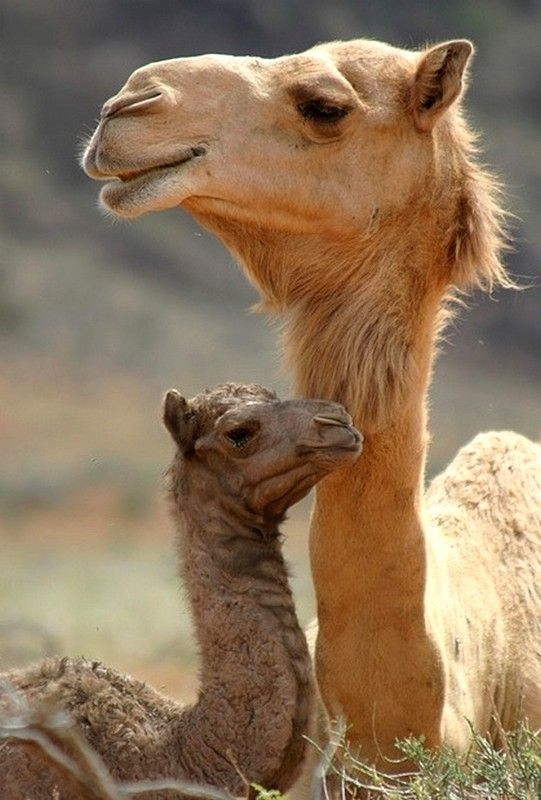 готов маленький верблюд картинка регулярно подтверждаем свой
