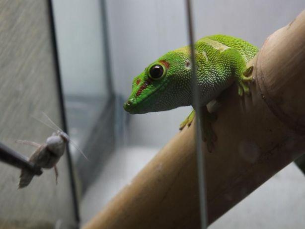 Мадагаскарская фельзума, или дневной геккон: описание, условия содержания, фото