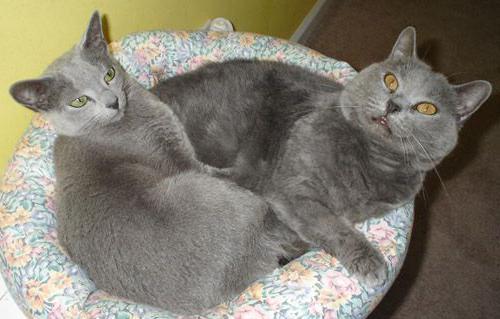 Особенности характера русские голубые кошки