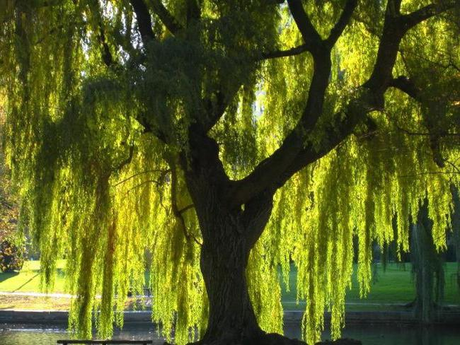 Верба это какое дерево
