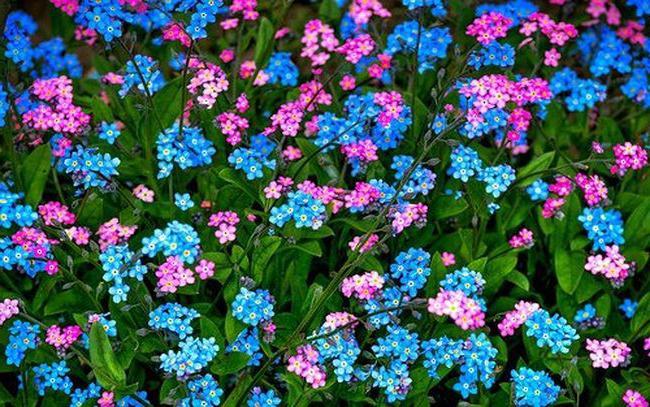 Окраска садовой незабудки