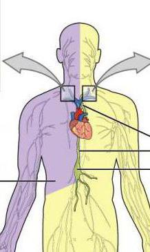 топография грудного лимфатического протока