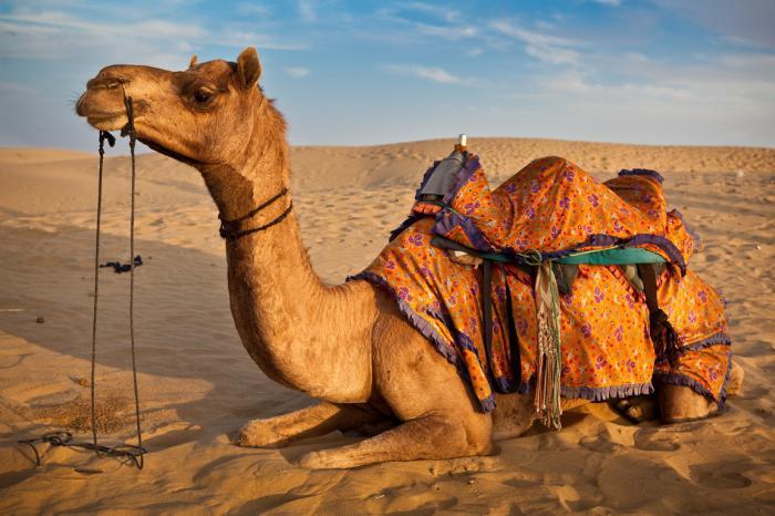 сколько живут верблюды