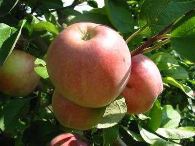 сорт яблони полосатое фото и описание сорта