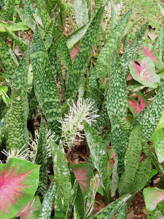 сансевиерия гвинейская