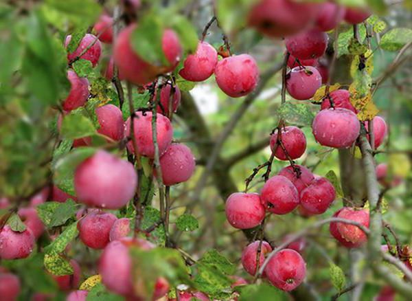 Яблуня зірочка опис фото