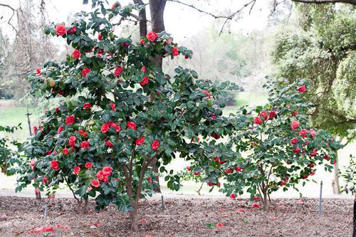 камелия кустовая садовая