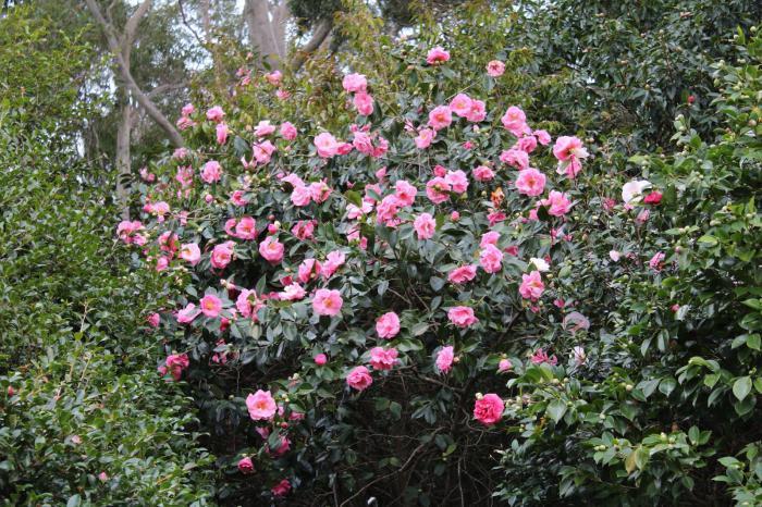 камелия японская садовая
