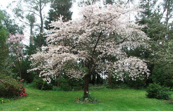 цветы камелия садовая