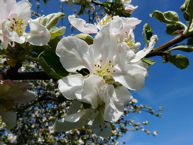 Медуница яблоня описание