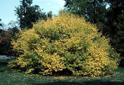 орешник это кустарник или дерево