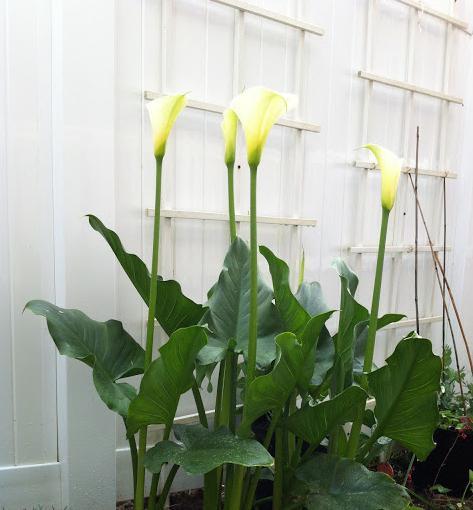 калла белая растение цветок уход выращивание
